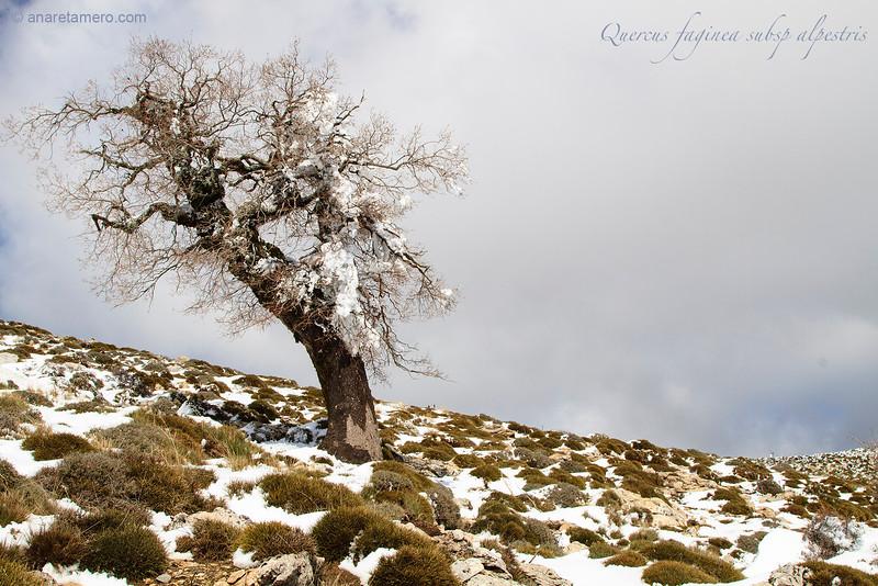Quejigo nevado