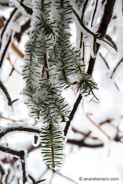 Detalle de ramas de pinsapo helados