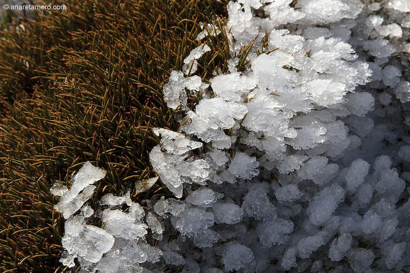 Erinacea anthyllis y cristales de hielo