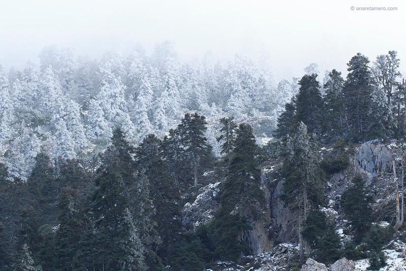 Pinsapar nevado