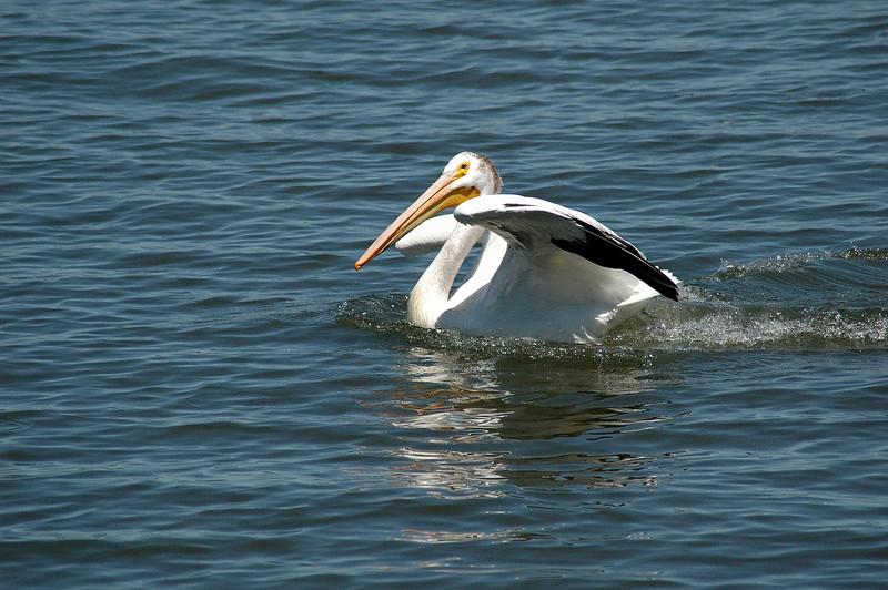 White Pelican,  Walla Walla River