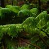Kiluea Rain Forest