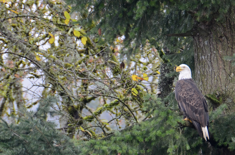 One of the hundreds of bald eagles along the Harrison River, BC Canada