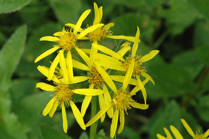 Arrow Leaf Ragwort