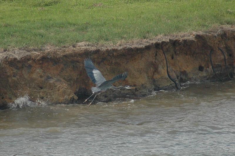 Great Blue Heron, Panama Canal