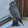 A Peregrine Falcon on our east deck at the Dacha. Rare here, but they like shore birds!