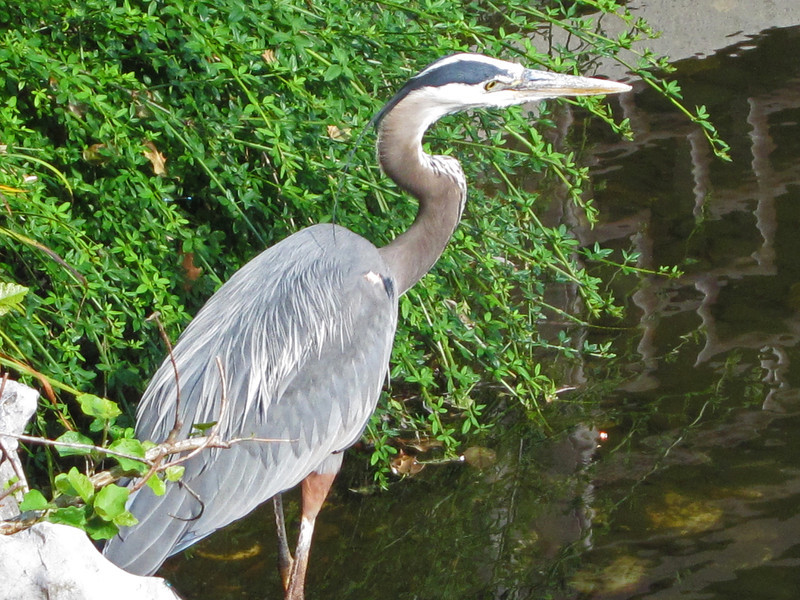 Great Blue Heron, Chinese Garden, Portland