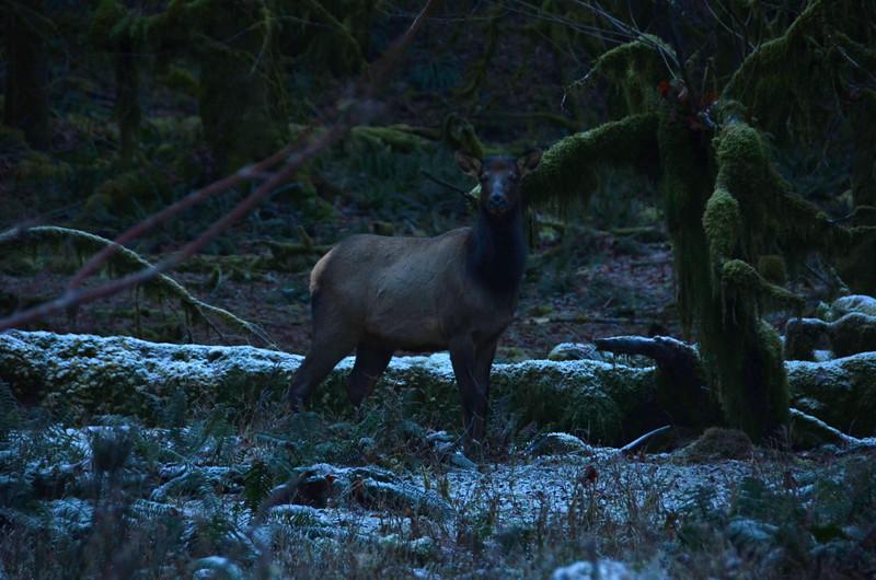 Elk, Quinault National Park