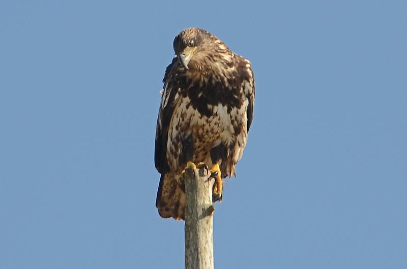 Juvenile Bald Eagle, Ocean Shores, WA