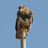Juvenile Bald Eagle, Ocean Shores, WA