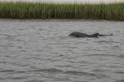 Dolphins in Charleston