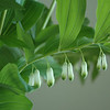 True Solomon's Seal