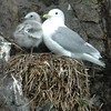 3 week old Black legged Kittiwake
