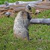 Hoary Marmot, Alta Vista Trail