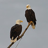 Eagle pair at Dacha