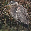 Great Blue Heron, Dacha. 1996