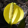 Rainier - skunk cabbage