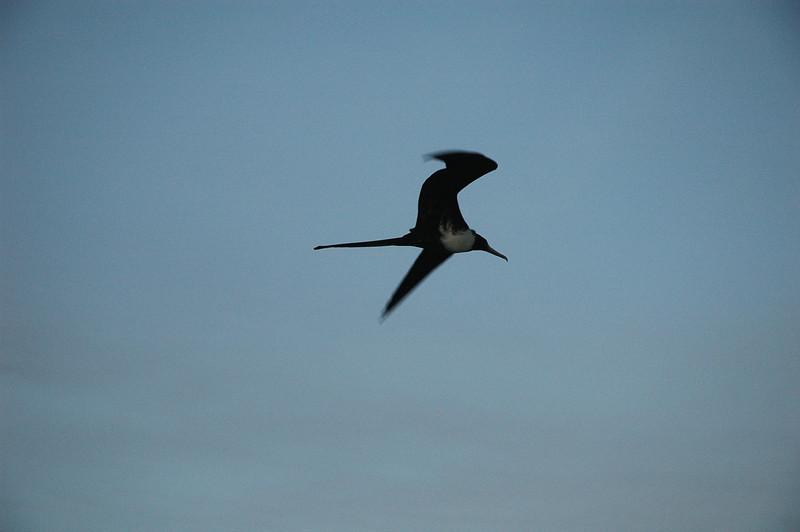 Frigate Bird, Panama Canal
