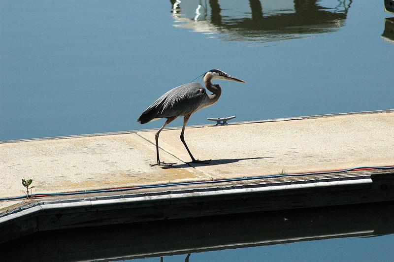 Great Blue Heron, Columbia R. near Walla Walla