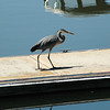 Great Blue Heron, Columbia R. near Walla Walla