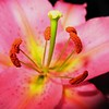 Lily Pink Pollen
