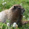 Hoary Marmot, Skyline Trail, 8/19/2014