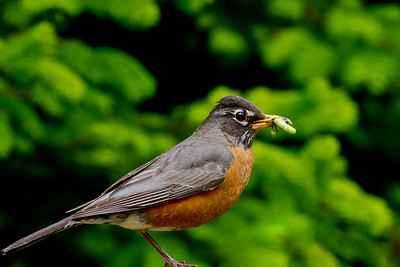 American Robin with Caterpillar