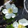 Pasqueflower (Western Anemone)