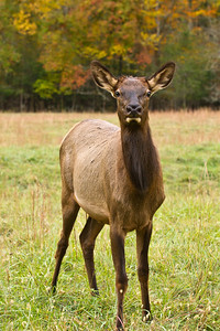 Curious Elk
