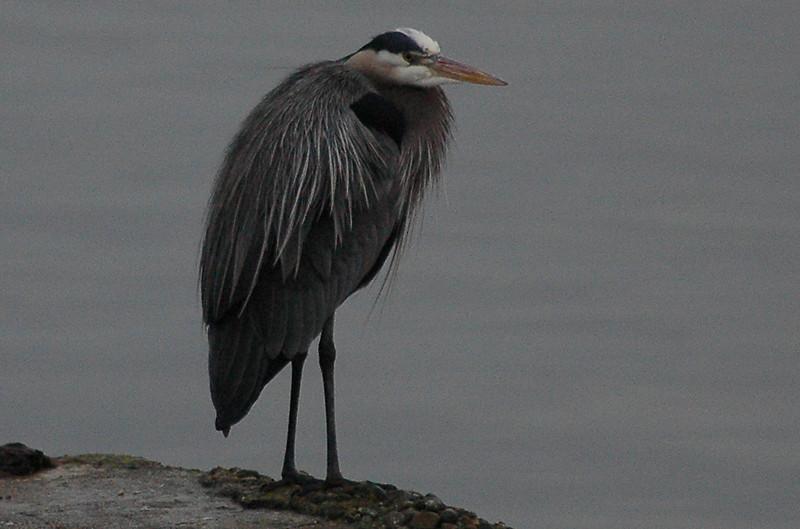 Great Blue Heron, Dickman Mill Park, Tacoma