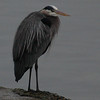 Great Blue Heron, Dickman Mill Park, Tacoma