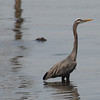 Great Blue Heron, Commencement Bay, WA
