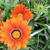 Orange Dhalias