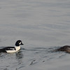 Bufflehead Ducks, Commencement Bay, WA
