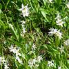 Avalanche Lilies, Rainier Vista Loop, Paradise