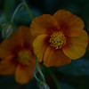 Helianthemum
