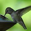 Anna's Hummingbird, Tacoma, WA