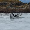 Humpback fluke, near Sitka AK