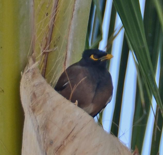 Myna, Kailua-Kona