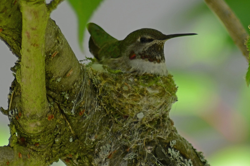 Mama on her nest, spring 2013, outside our bedroom window.