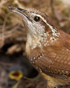 Carolina Wren Feeding Chicks