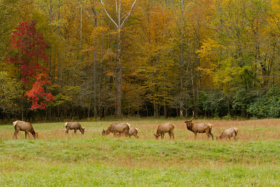 Smokey Mountain Elk Herd in Fall