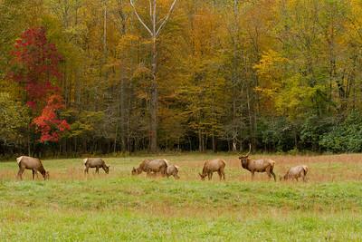 Smokey Mountain Elk Herd in Fall