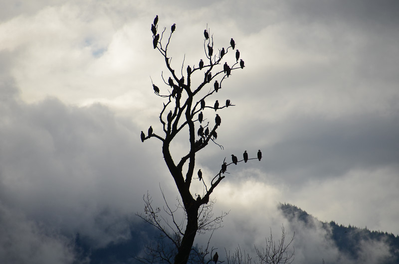 Some of the hundreds of bald eagles along the Harrison River, BC Canada