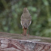 Thrush, Hermit -photo 2