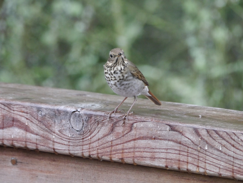 Thrush, Hermit -photo 1
