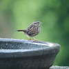 Sparrow, Song -photo 2