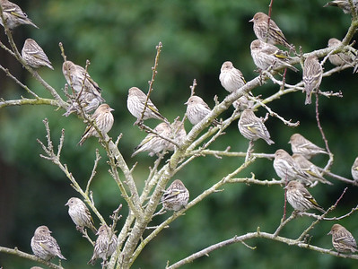 Pine Siskins -photo 1