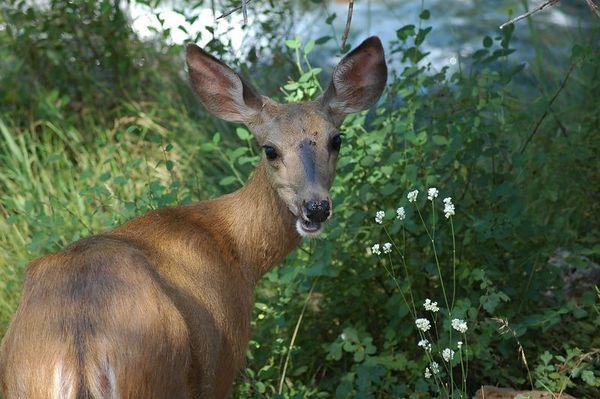Oh Deer!  Burney Falls, California