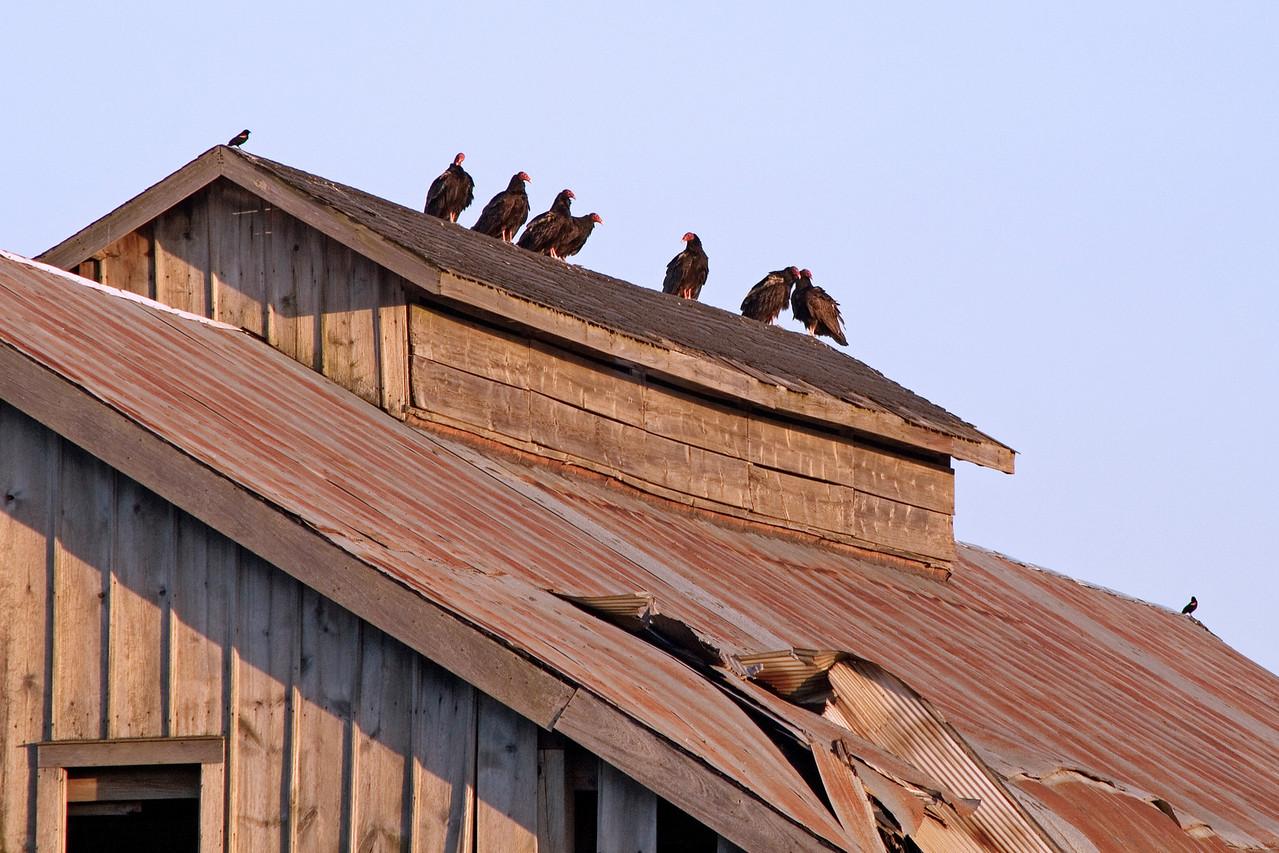 May 11 - Turkey Buzzards, Weldon Springs, Clinton Illinois